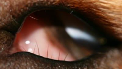 Distichiasis or extra eyelashes in a labrador retriever